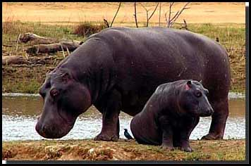 Baby Hippo Picture