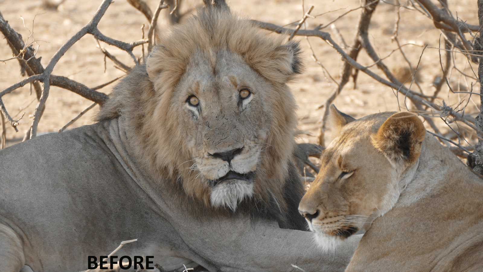 Lion Couple Before
